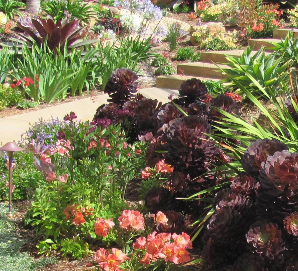 Aeonium Black moon pairs up with Peruvian Lily