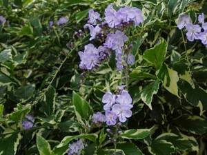 Variegated Brazilian  Skyflower Duranta repens variegata as tropical addition to xeriscape designs