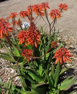 Aloe rudikoppe 'Little Gem'