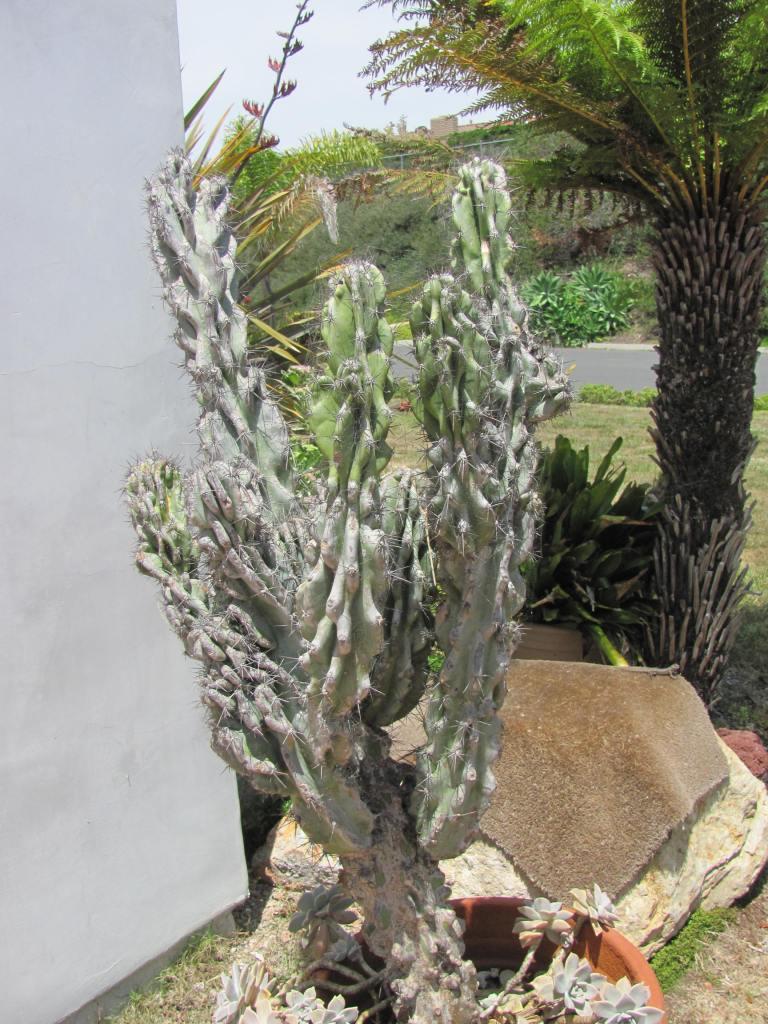 Cereus monstrosus