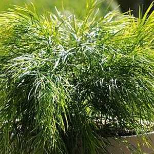 Dry shade plant Acacia cognata Cousin Itt to 3 ft by 4-6 ft sun shade