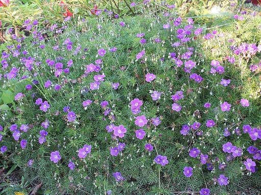 dry shade plant Geranium_incanum self seeds sheer every 2-3 years