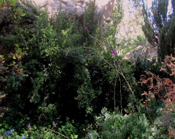 Dry shade plants Myrsine africana African Boxwood rev (2)