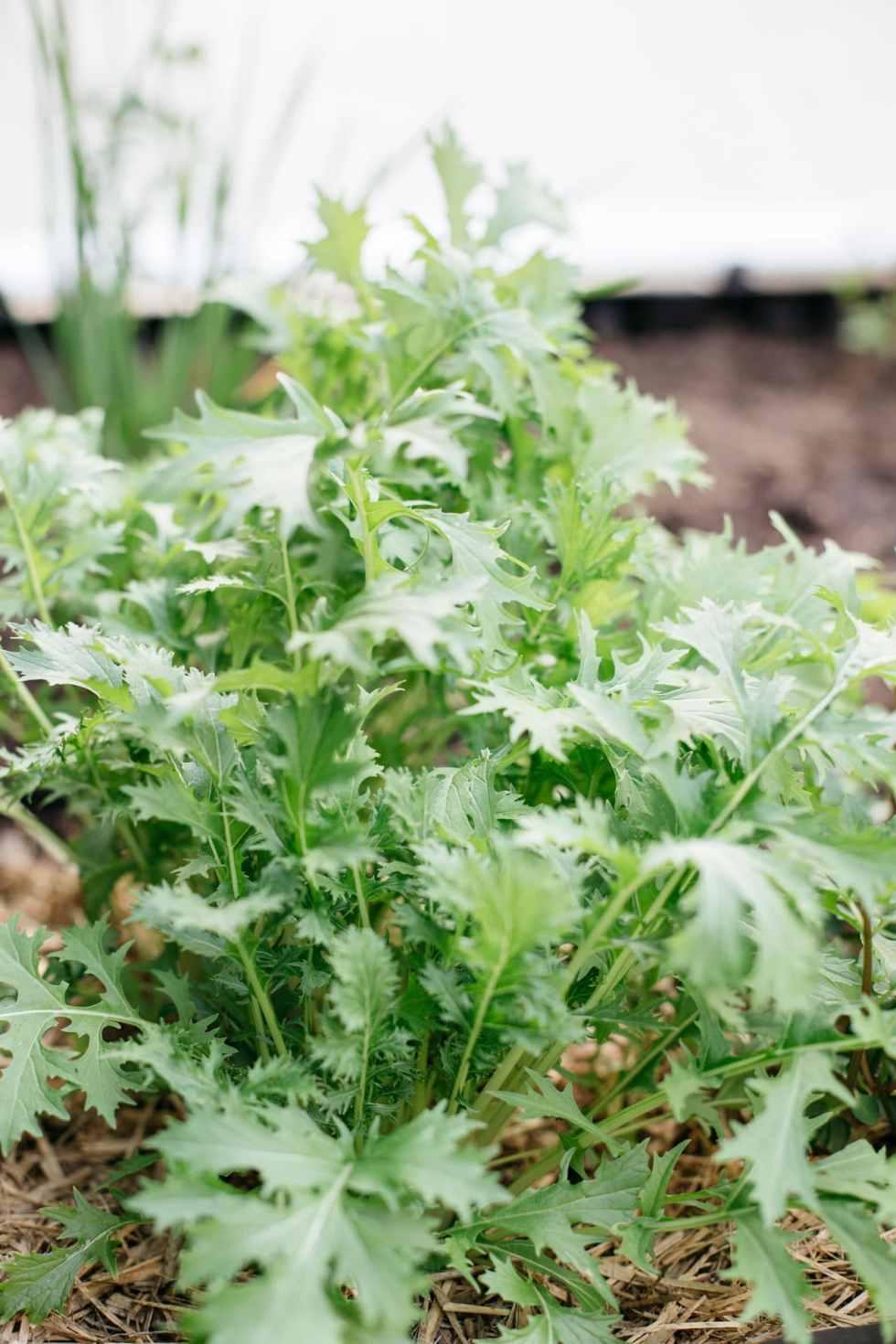 Mizuna(brassica) growing in my back yard