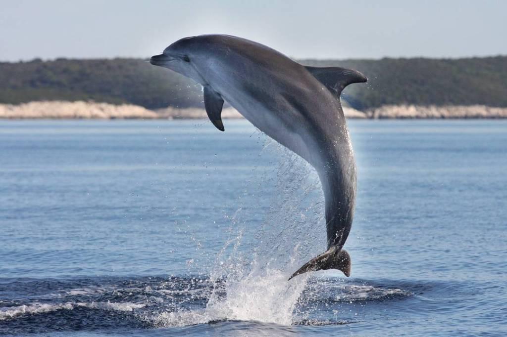skaczący delfin w pobliżu Losinja