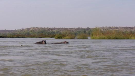Hippos Niger River Kanazi