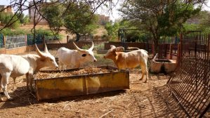 Niger National Museum Diffa Cows