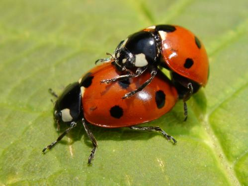https://i2.wp.com/www.chris-schuster.com/pics/insects/beetles/lady_bug/medium_coccinella_septempunctata_mating_1.jpg