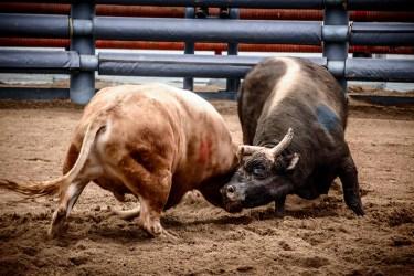 Cheongdo bullfighting festival