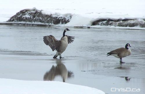 Alexander Docks - Geese