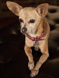 Taco Bell Chihuahua Gidget