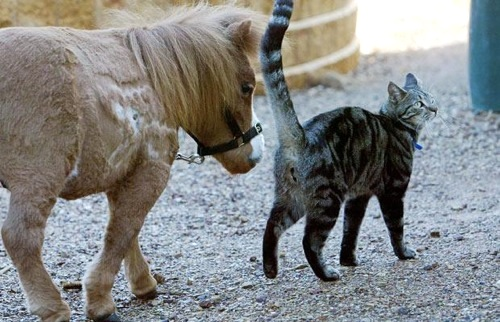 Small Horse - Cat