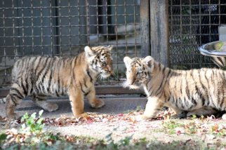 Two Amur tiger cubs come out of their den to show off for the public at Assiniboine Park Zoo on Monday, October 3, 2011. The cubs, one male and one female, were born in late July and have been in hiding since. (JENNA CUMBERS / METRO WINNIPEG)