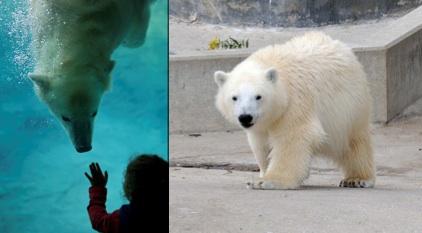 Hudson - Polar Bear