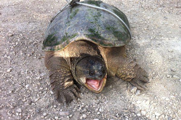 Henderson Highway Turtle