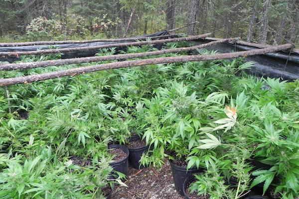 Cormorant Marijuana Grow-Op