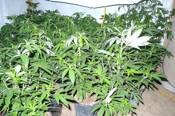 Brokenhead Marijuana Seizure