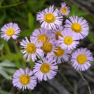 Smooth Fleabane Flowers