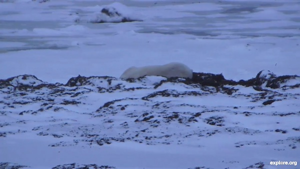 Churchill Polar Bear Cam