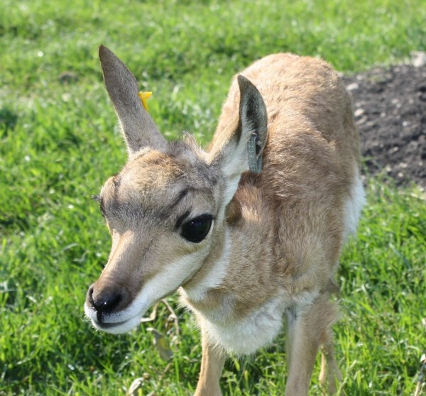 Baby Pronghorn