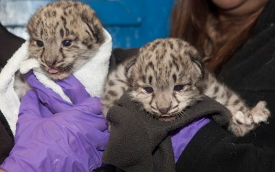 Healthy and Cute — Zoo Introduces Snow Leopard Babies