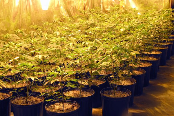 Springfield Marijuana Bust