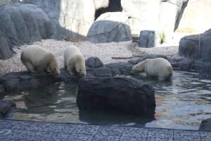 Zoo Polar Bears