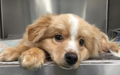 Puppy with Two Crushed Paws to Undergo Surgery at WHS
