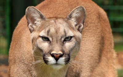 Man Charged After Cougar Harassed with a Slingshot in Banff National Park
