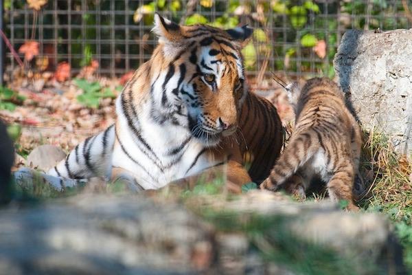 Kendra - Tiger