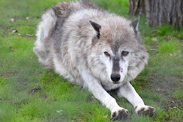 Wolf Exhibit