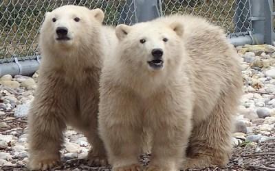 Polar Bear Dies at Assiniboine Park Zoo