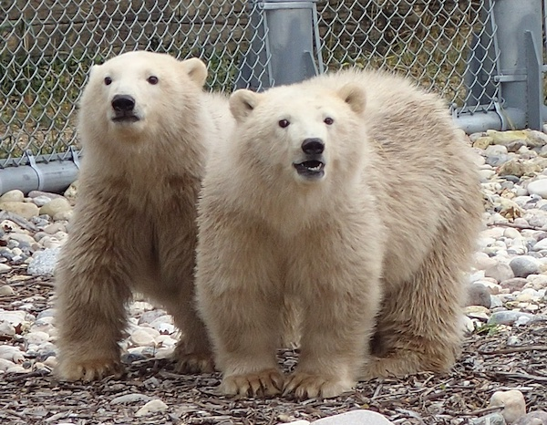Blizzard - Star Polar Bears