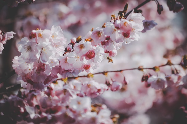 Cherry Blossoms - Flowers