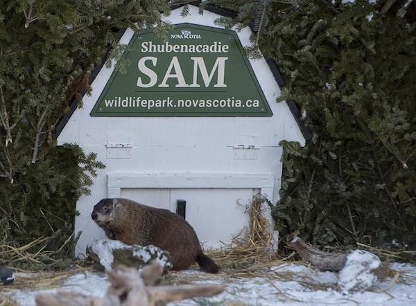 Shubenacadie Sam Groundhog