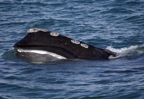 Baleen - Whale
