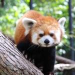 Red Panda Weekend at Assiniboine Park Zoo