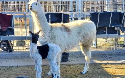 Winnipeg Zoo Turns to Public to Name Baby Llamas