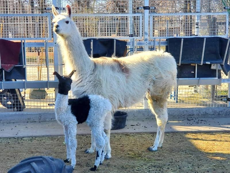 Chai - Llama Mother