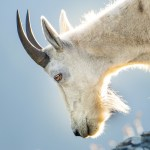 Grizzly Bear Fatally Gored by Mountain Goat in Eastern B.C.: Parks Canada