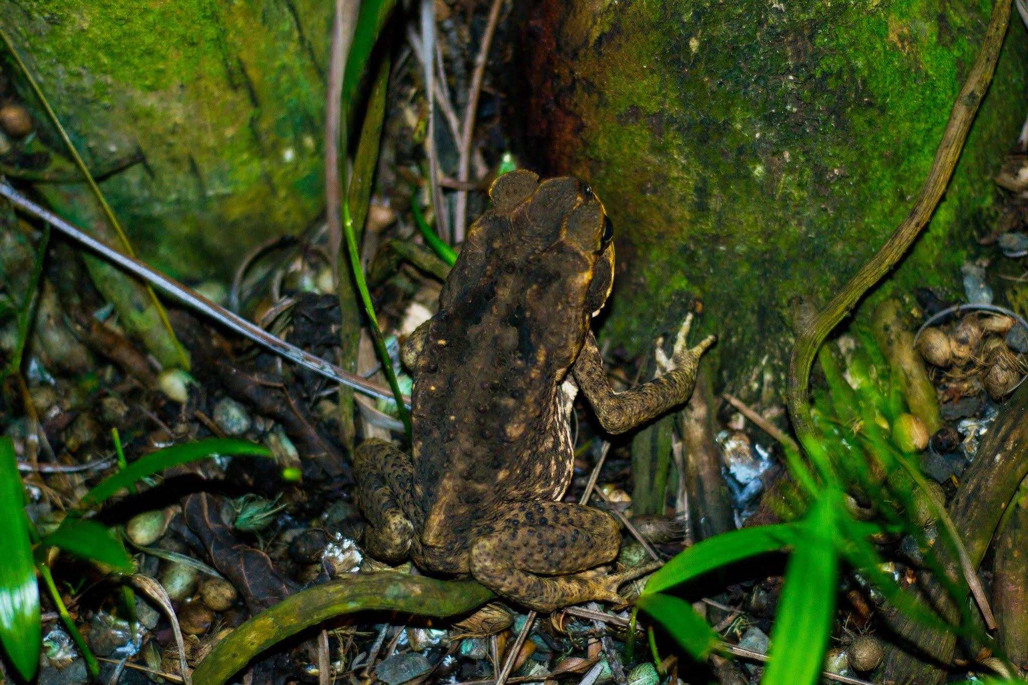 Frog Kauai Hawaii