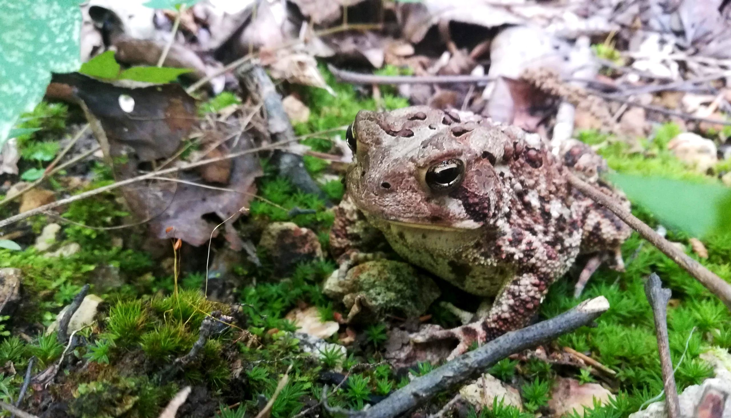 Window Cliffs Toad