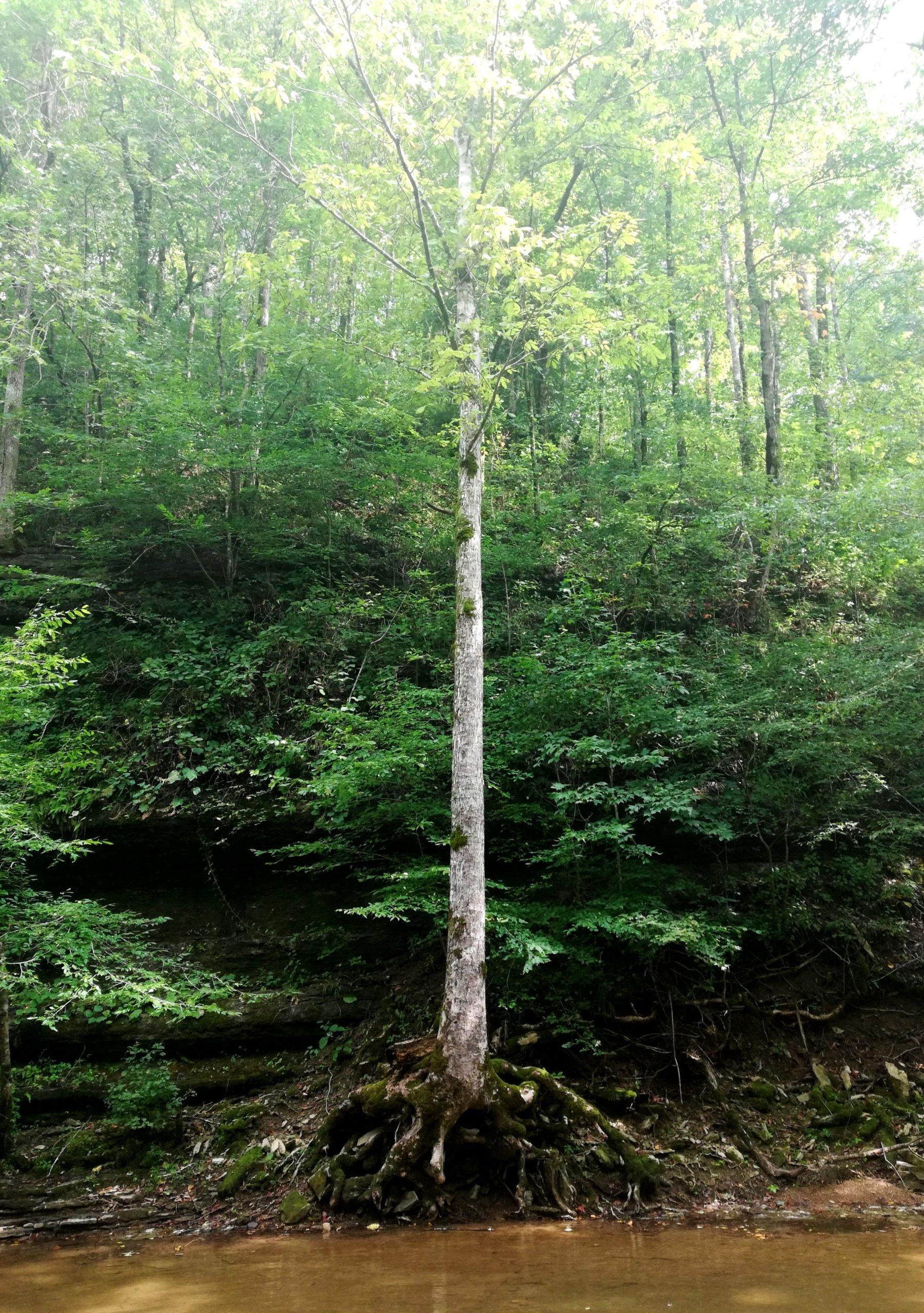 Window Cliffs Tree