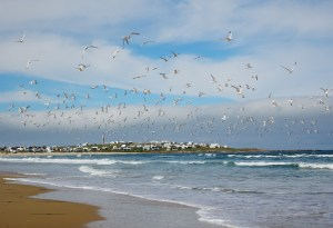 Birds taking flight over the sea by Cabo Polonio