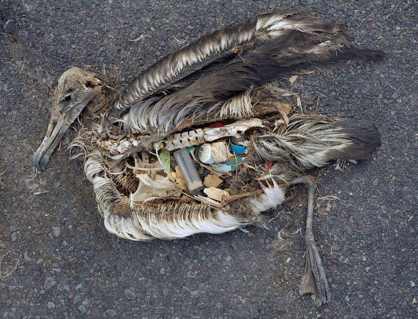 Esqueleto de ave marinha cheio de plástico