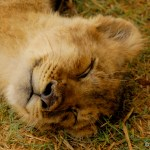 "A little Lion cub dreaming of ""Kittens and Bows"" (or maybe Zebras and Springbok)."
