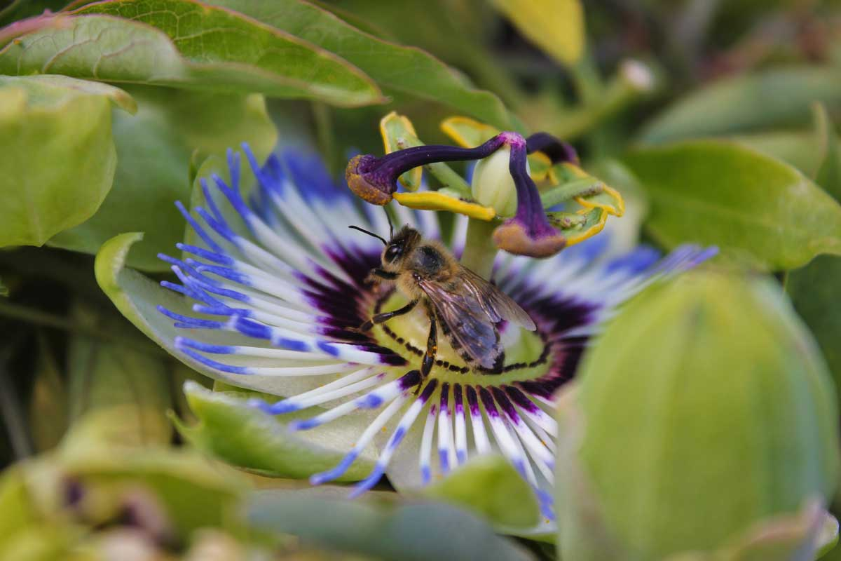 bees love passion flowers