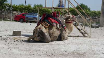 It Was So Hot Even The Camels Took A Break