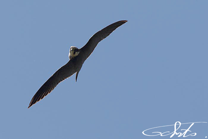 Faucon hobereau (Falco-subbuteo)-7781