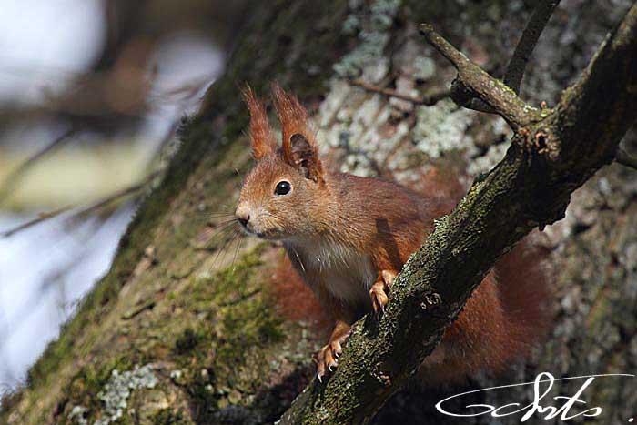 Ecureuil roux [Sciurus vulgaris]-7063